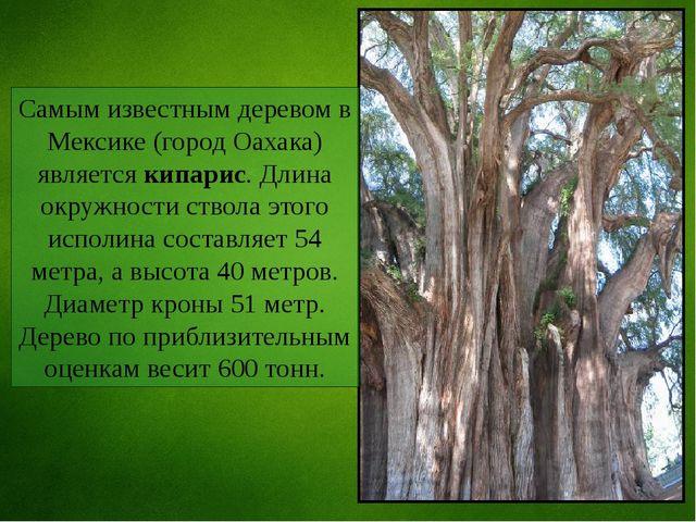 Самым известным деревом в Мексике (город Оахака) является кипарис. Длина окру...