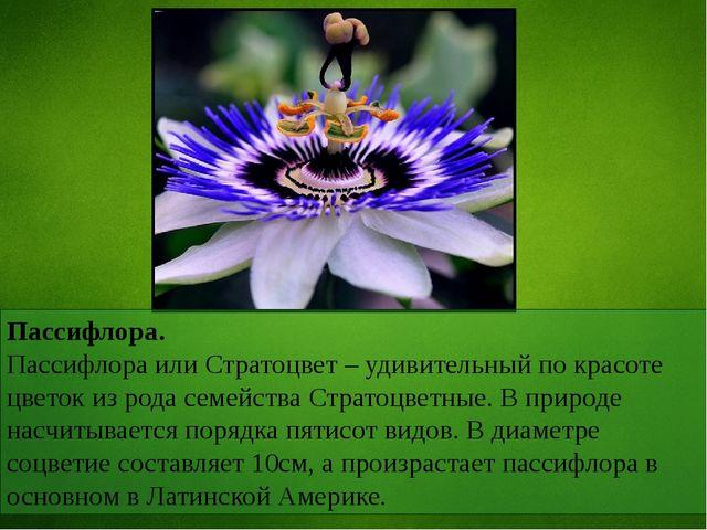 Пассифлора. Пассифлора или Стратоцвет – удивительный по красоте цветок из род...