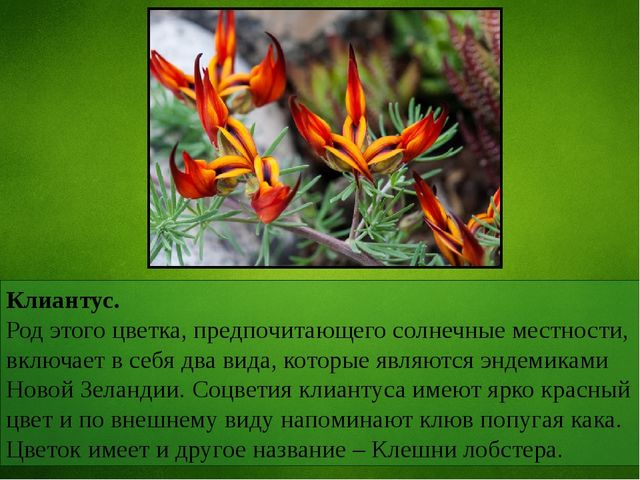 Клиантус. Род этого цветка, предпочитающего солнечные местности, включает в с...