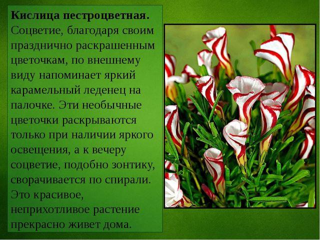 Кислица пестроцветная. Соцветие, благодаря своим празднично раскрашенным цвет...