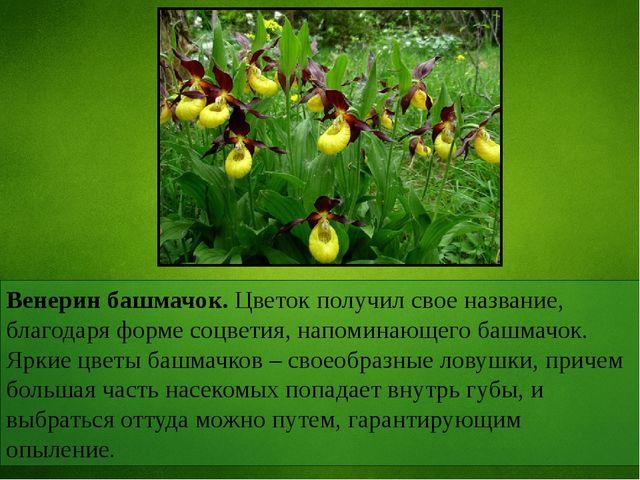Венерин башмачок. Цветок получил свое название, благодаря форме соцветия, нап...
