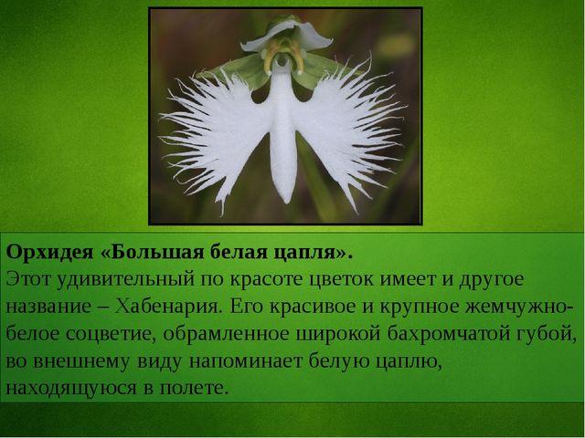 Орхидея «Большая белая цапля». Этот удивительный по красоте цветок имеет и др...