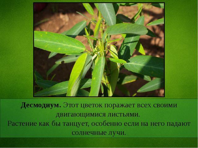 Десмодиум. Этот цветок поражает всех своими двигающимися листьями. Растение к...