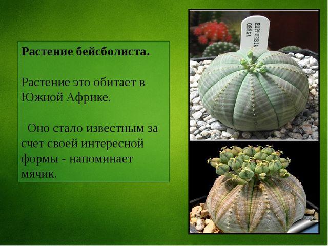 Растение бейсболиста. Растение это обитает в Южной Африке. Оно стало известны...