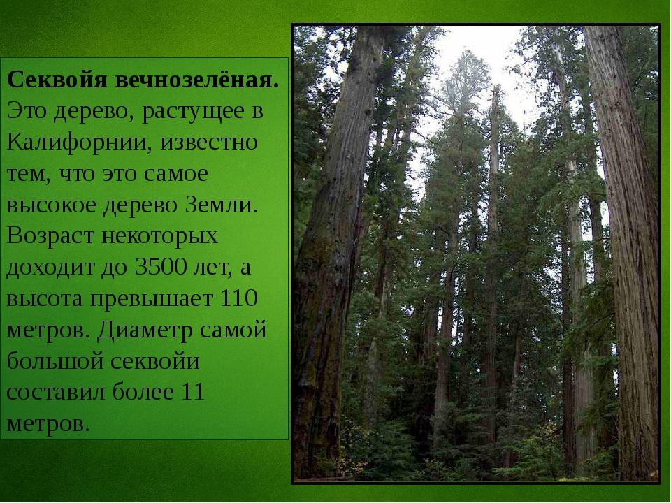 Секвойя вечнозелёная. Это дерево, растущее в Калифорнии, известно тем, что эт...