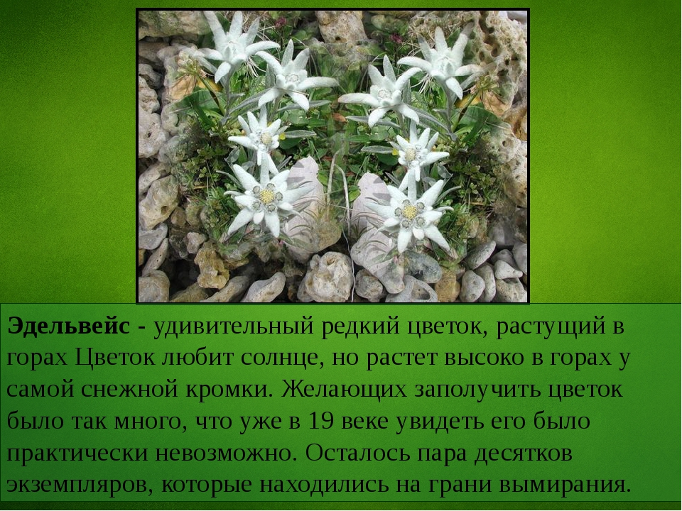 Эдельвейс - удивительный редкий цветок, растущий в горах Цветок любит солнце,...