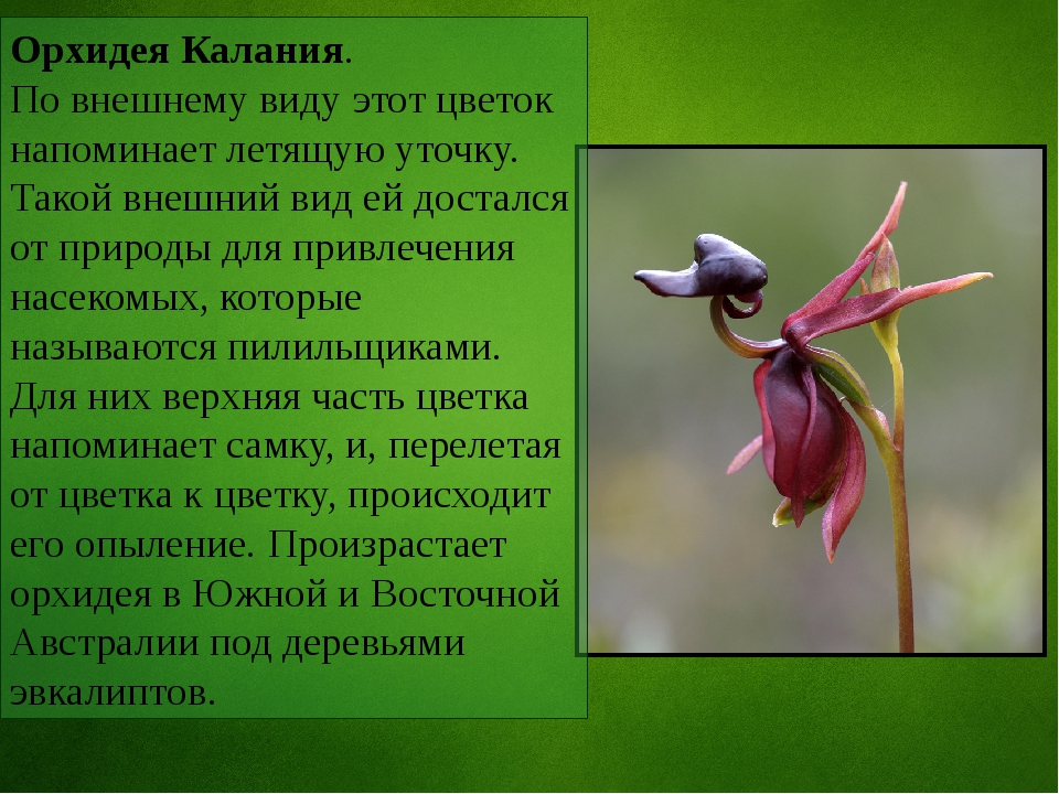 Орхидея Калания. По внешнему виду этот цветок напоминает летящую уточку. Тако...