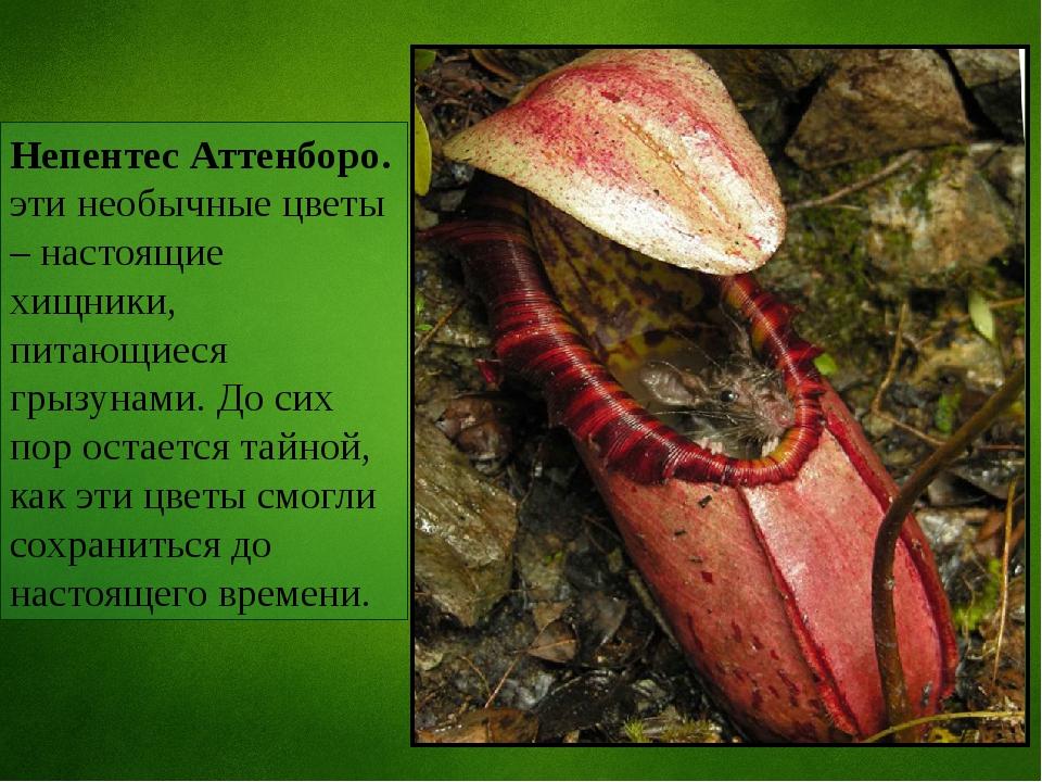 Непентес Аттенборо. эти необычные цветы – настоящие хищники, питающиеся грызу...