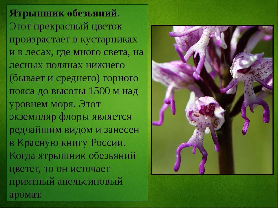 Ятрышник обезьяний. Этот прекрасный цветок произрастает в кустарниках и в лес...