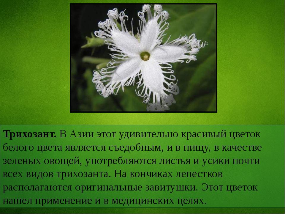 Трихозант. В Азии этот удивительно красивый цветок белого цвета является съед...