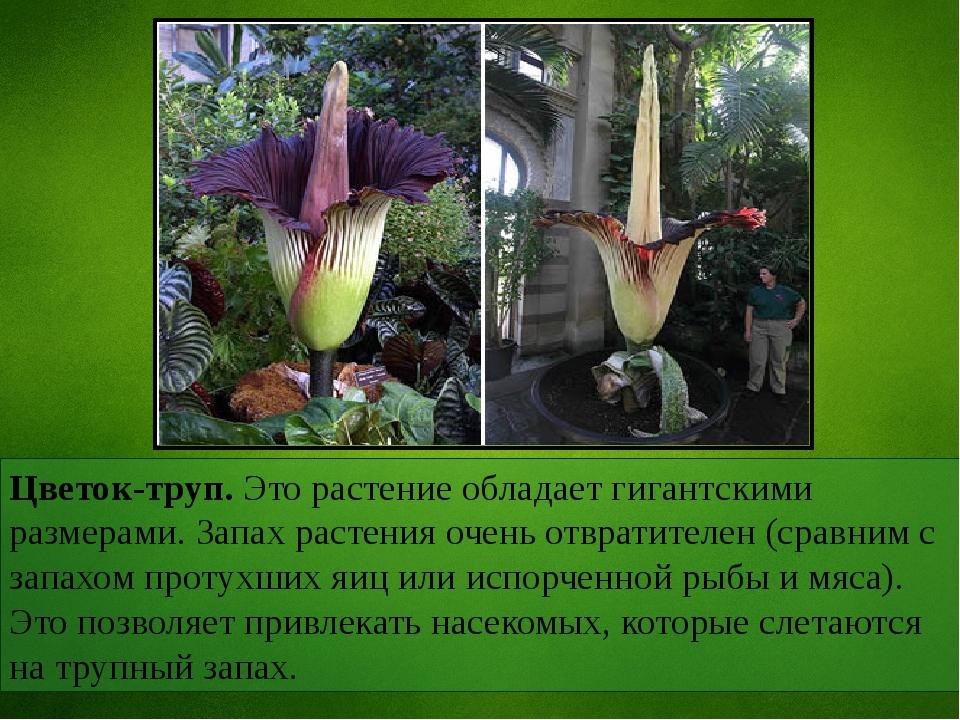 Цветок-труп. Это растение обладает гигантскими размерами. Запах растения очен...