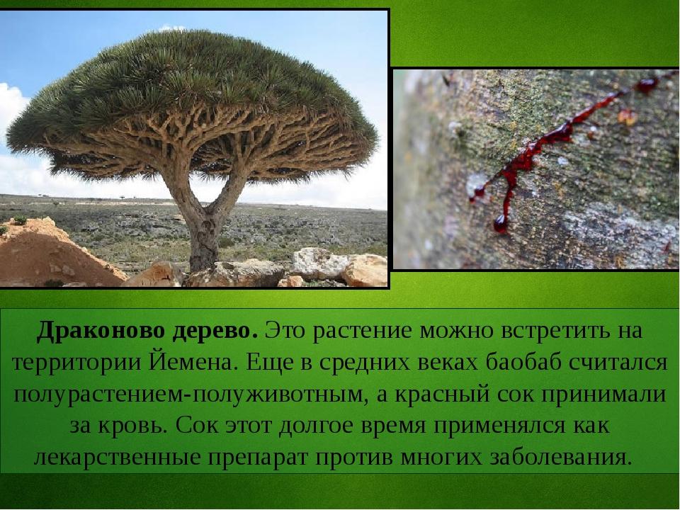 Драконово дерево. Это растение можно встретить на территории Йемена. Еще в ср...