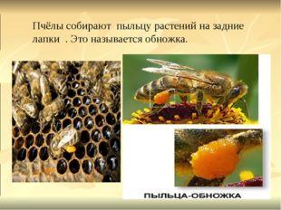 Пчёлы собирают пыльцу растений на задние лапки . Это называется обножка.