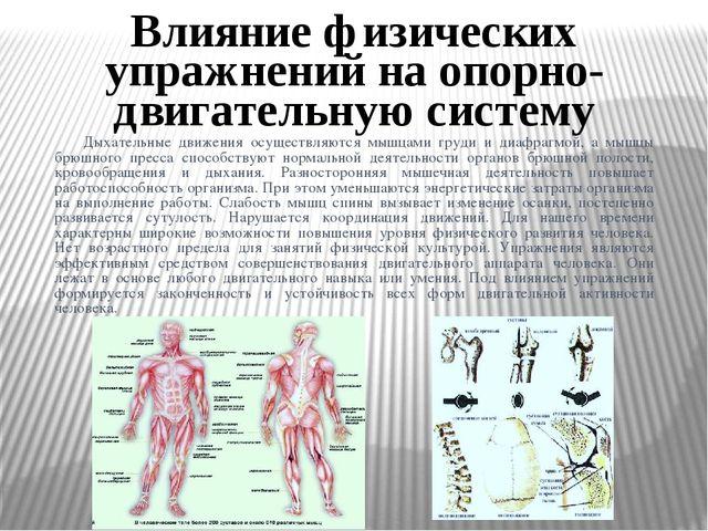 Дыхательные движения осуществляются мышцами груди и диафрагмой, а мышцы брюш...