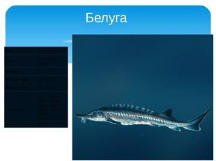 Белуга Лат Huso huso Класс Лучепёрые рыбы Длина До 4,2 м Масса тела До 1000 к