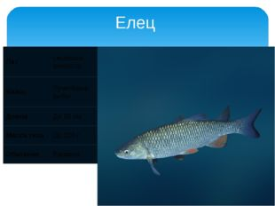 Елец Лат Leuciscus leuciscus Класс Лучепёрые рыбы Длина До 20 см Масса тела Д