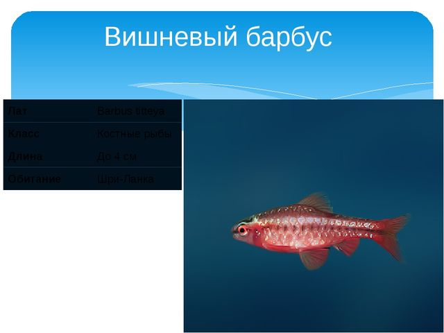 Вишневый барбус Лат Barbus titteya Класс Костные рыбы Длина До 4 см Обитание...