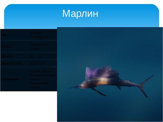 Марлин Лат Makaira Tetrapturus Класс Лучепёрые рыбы Длина До 5 м Масса тела Д...