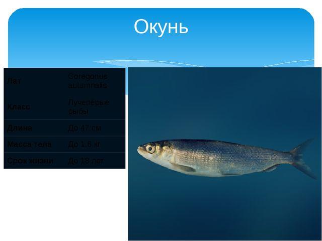 Окунь Лат Coregonus autumnalis Класс Лучепёрые рыбы Длина До 47 см Масса тела...
