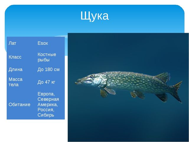 Щука Лат Esox Класс Костные рыбы Длина До 180 см Масса тела До 47 кг Обитание...