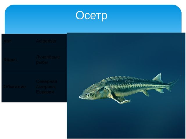 Осетр лат Acipenser Класс Лучепёрые рыбы Обитание Северная Америка, Евразия