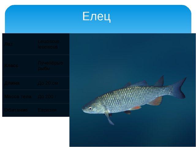 Елец Лат Leuciscus leuciscus Класс Лучепёрые рыбы Длина До 20 см Масса тела Д...