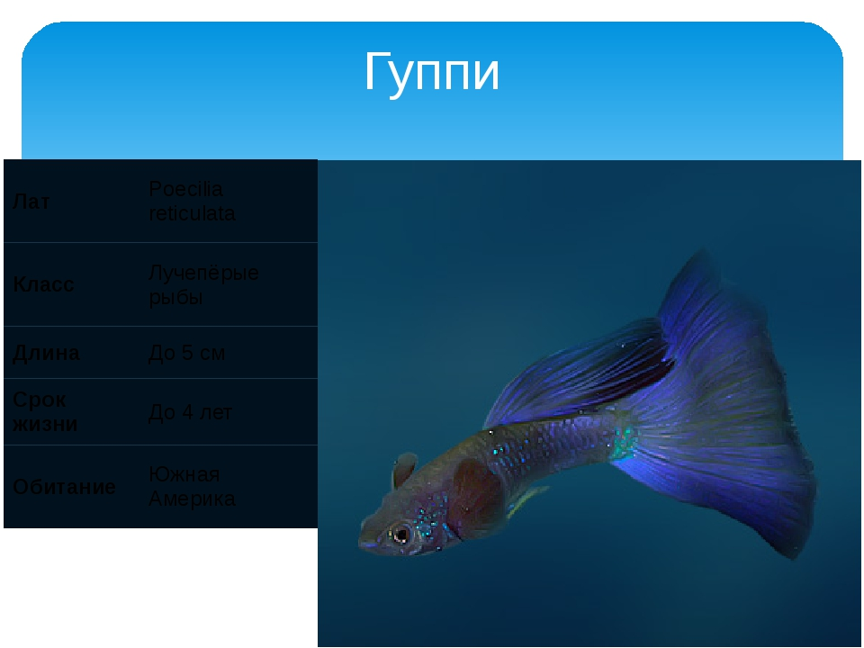 Гуппи Лат Poecilia reticulata Класс Лучепёрые рыбы Длина До 5 см Срок жизни Д...