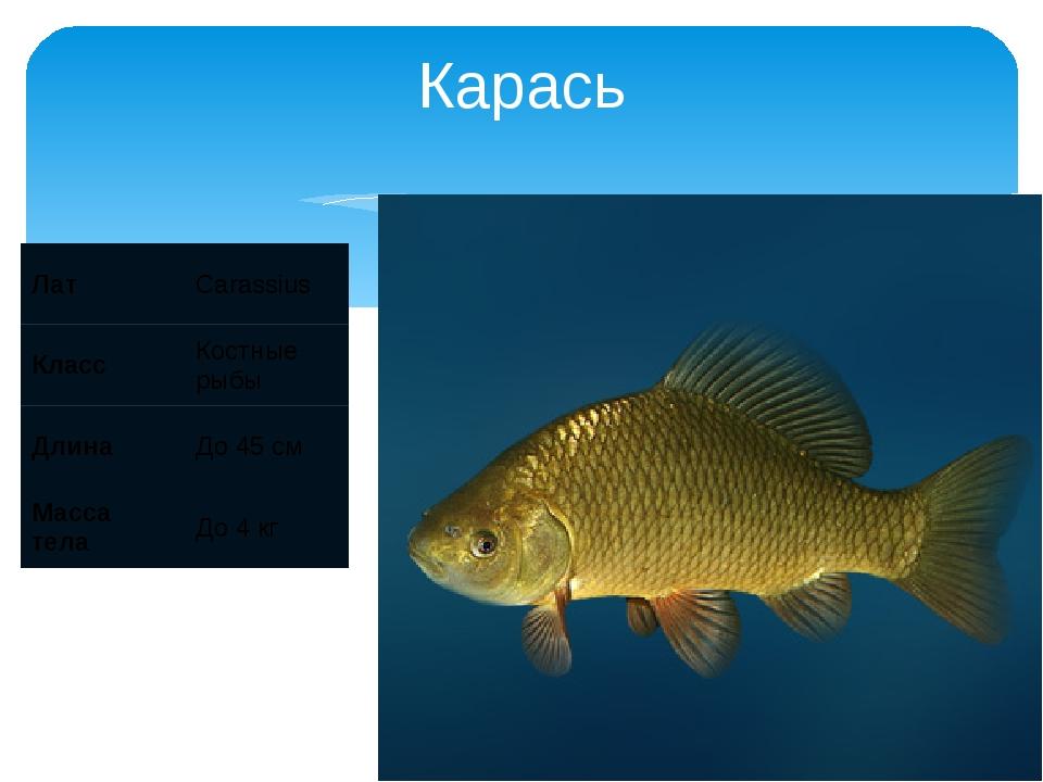 Карась Лат Carassius Класс Костные рыбы Длина До 45 см Масса тела До 4 кг