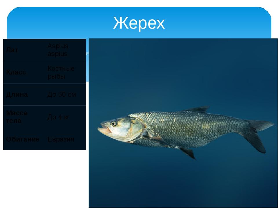 Жерех Лат Aspius aspius Класс Костные рыбы Длина До 50 см Масса тела До 4 кг...