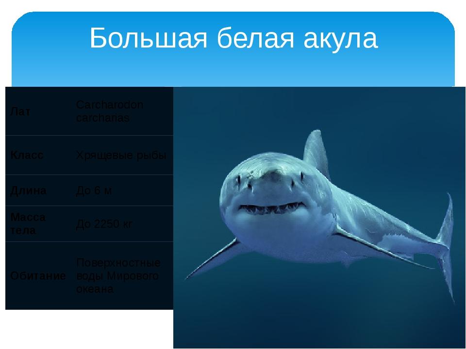 Большая белая акула Лат Carcharodoncarcharias Класс Хрящевые рыбы Длина До 6...