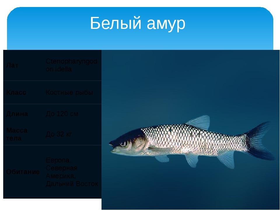 Белый амур Лат Ctenopharyngodon idella Класс Костные рыбы Длина До 120 см Мас...