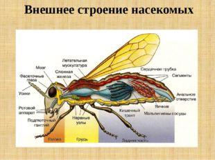 Внешнее строение насекомых