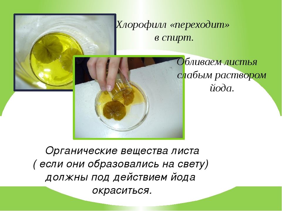 Опыт с хлорофиллом