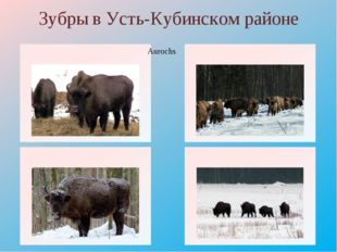 Зубры в Усть-Кубинском районе Aurochs http://www.nexplorer.ru/load/Image/0114