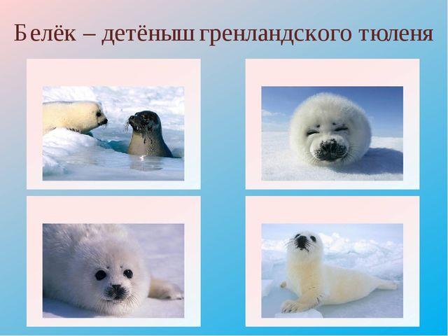 Белёк – детёныш гренландского тюленя http://adsl.zveronline.ru/projects/video...