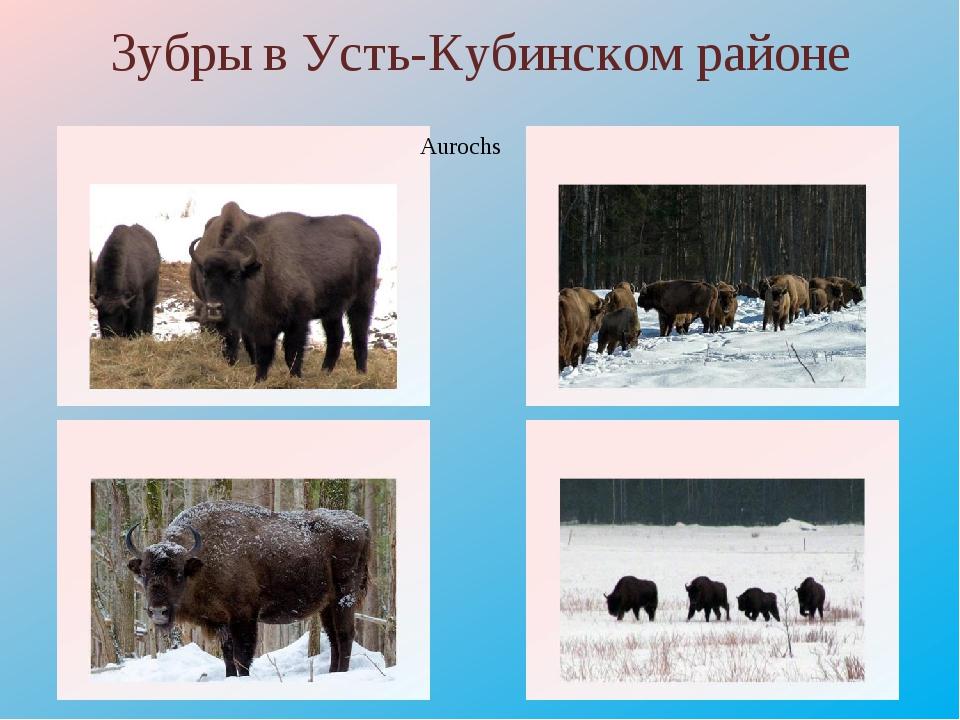 Зубры в Усть-Кубинском районе Aurochs http://www.nexplorer.ru/load/Image/0114...