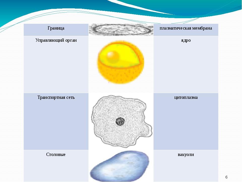 Граница плазматическая мембрана Управляющий орган ядро Транспортная сеть цит...