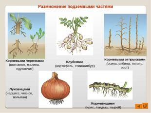 Размножение подземными частями Корневыми черенками (шиповник, малина, одуванч