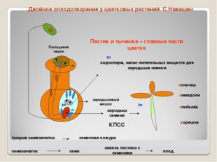 зародыш семени корешок стебелёк семядоли почечка эндосперм, запас питательных