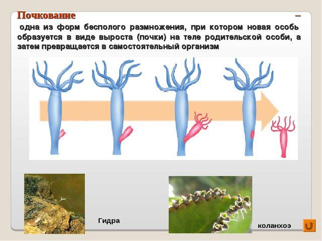 Почкование – одна из форм бесполого размножения, при котором новая особь обра...