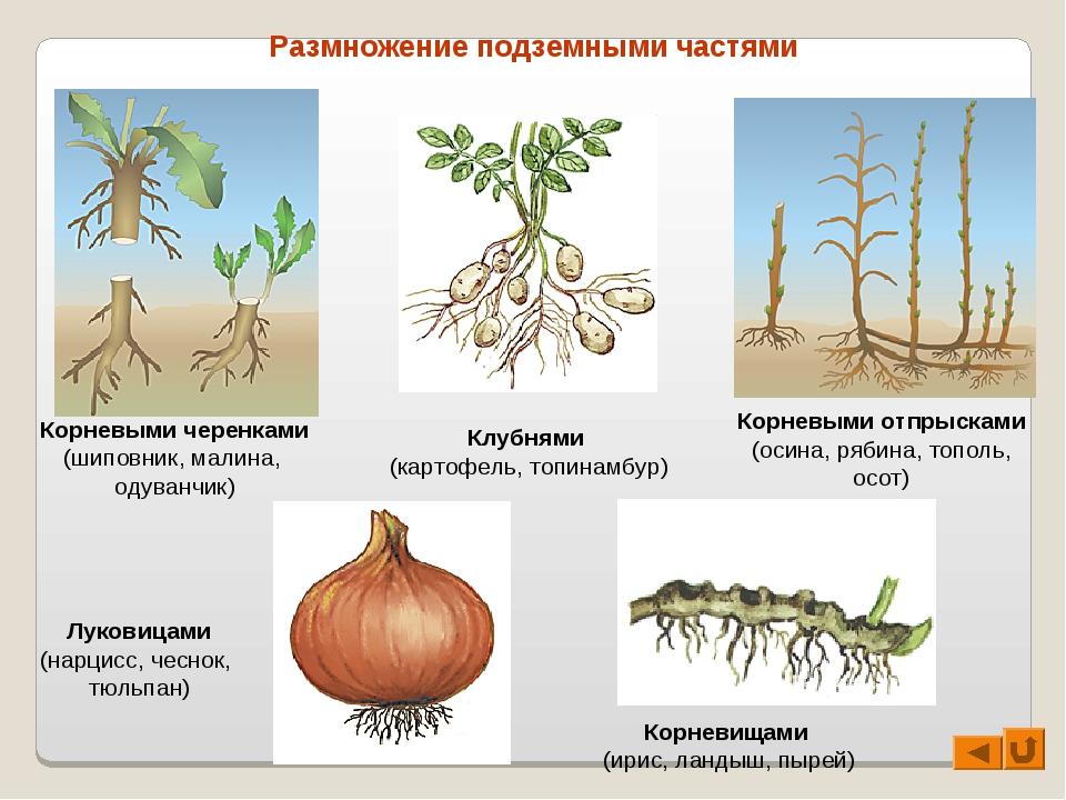 Размножение подземными частями Корневыми черенками (шиповник, малина, одуванч...