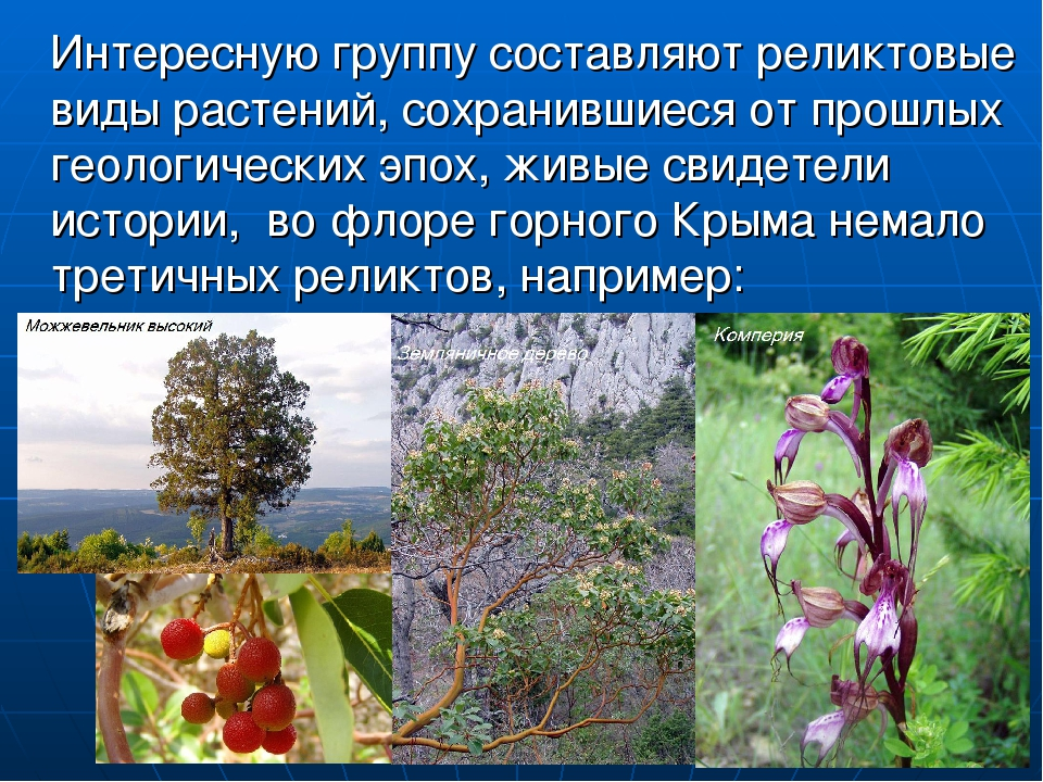 Интересную группу составляют реликтовые виды растений, сохранившиеся от прош...