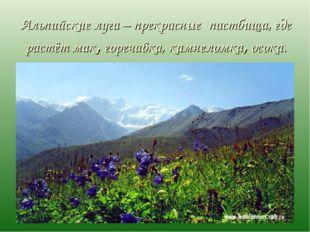 Альпийские луга – прекрасные пастбища, где растёт мак, горечавка, камнеломка,