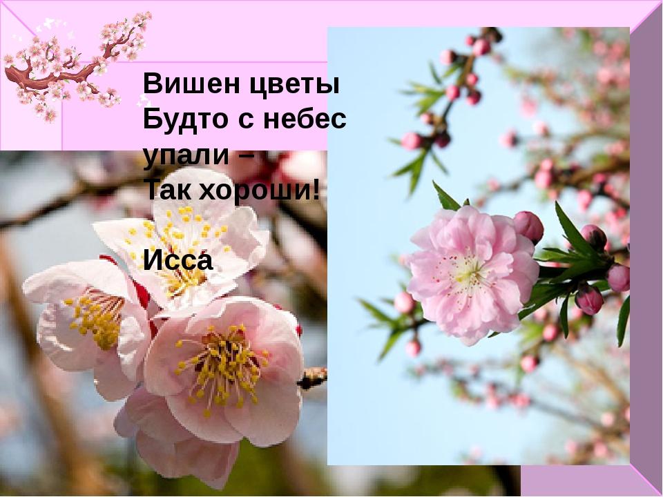 Вишен цветы Будто с небес упали – Так хороши! Исса