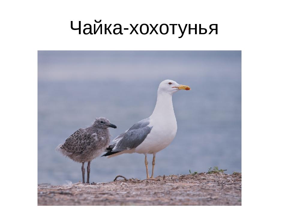 Чайка-хохотунья