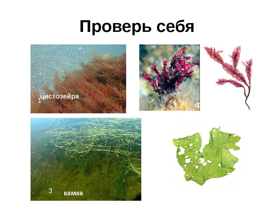 Проверь себя 1 2 3 4 цистозейра филофора камка ульва