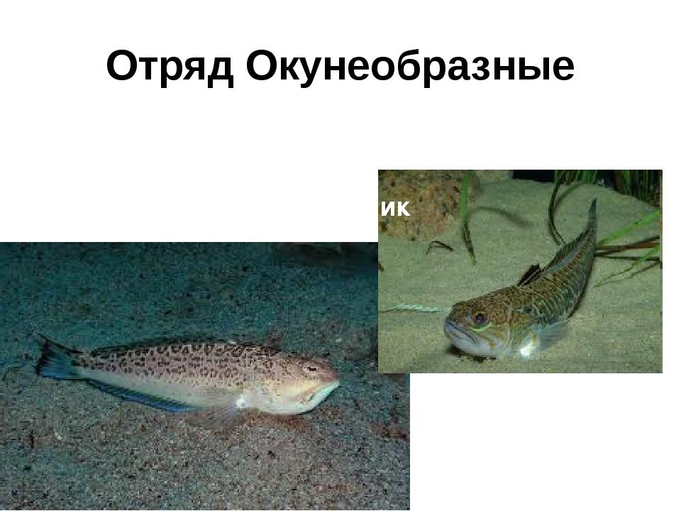 Отряд Окунеобразные Морской дракончик