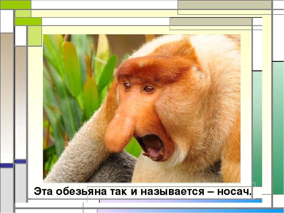 Эта обезьяна так и называется – носач.