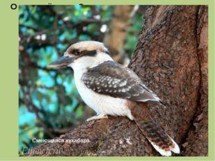 Это хищная птица длиной около 45 сантиметров, издающая звуки, похожие на чело