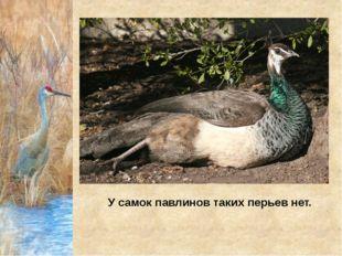 У самок павлинов таких перьев нет.